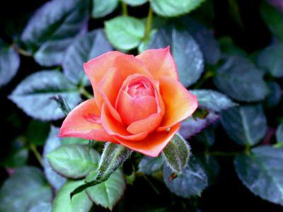 Flower-Wild-Rose-1-4MFFW20GZM-1024x768